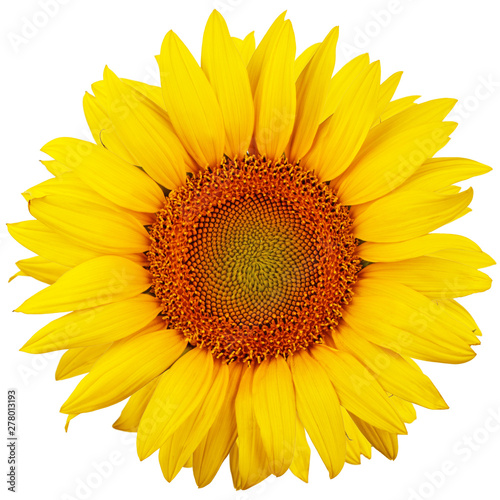In de dag Zonnebloem Sunflower isolated on white background. Flat lay, top view