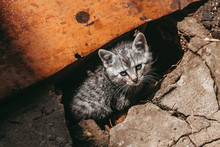 Homeless Gray Tabby Kitten On ...
