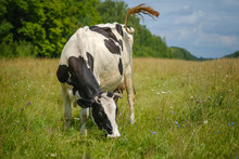 Black White Cow Grazing In A Meadow On A Leash In The Summer And Eats Green Grass