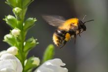 Macro Photo Of Bumblebee On White Flower
