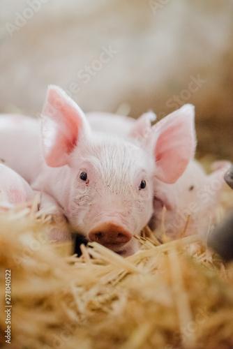 young piglet in agricultural livestock farm Fototapeta