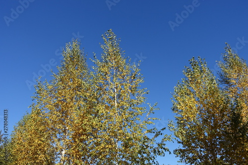 Crowns of birches against blue sky in autumn Canvas Print