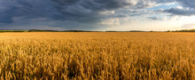 Field With Young Golden Wheat Or Rye In Summer Sunny Day With Cloudy Sky.
