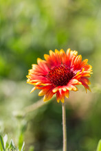 Outdoor Spring, Blooming Yellow Flower, Gerbera,Gaillardia Pulchella Foug.