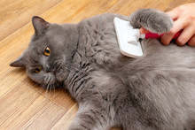 Grooming Brushing Gray Pretty Cute Cat With A Special Brush For Grooming Pets Care Concept