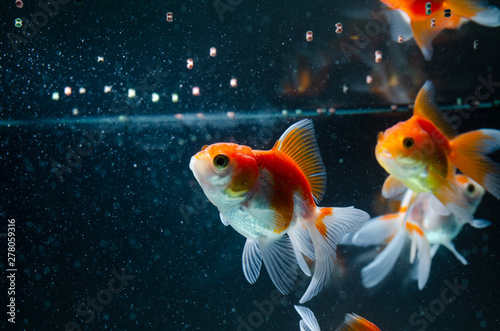 Goldfish eating food nature beautiful fish against the dark background Fototapeta