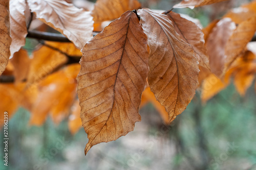 Orange and bronze autumn leaves sunlit in the forest with bokeh background ~Autumnal~