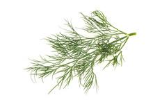 Fresh Green Dill Herb Branch