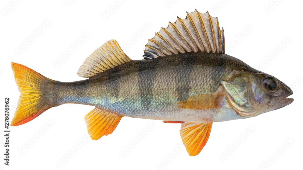 Fototapety, obrazy: European perch known as the common,  redfin,  big-scaled redfin,  English, Eurasian river perch