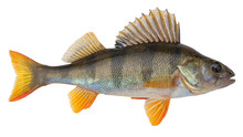 European Perch Known As The Co...