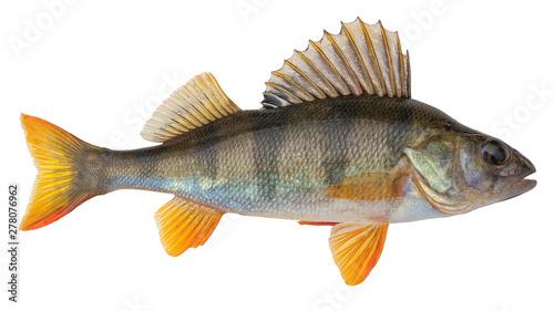 European perch known as the common,  redfin,  big-scaled redfin,  English, Euras Tablou Canvas