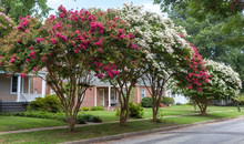 Red And White Crepe Myrtle Tre...