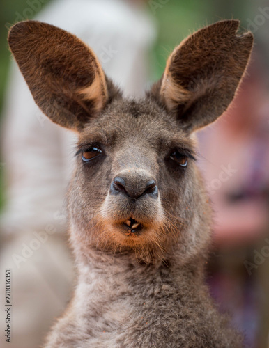 Deurstickers Kangoeroe Silly Funny Face of a Kangaroo