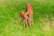 Mother And Baby Deer - Doe And...