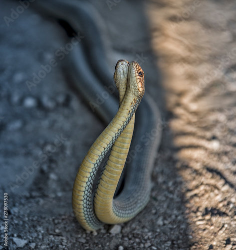 Fotografie, Obraz Two snakes in courtship