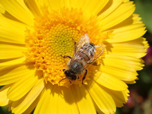 Honey Bee On A Yellow Flower