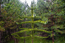 Evergreen Magical Araucaria Tr...