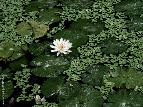 Foto a white and pure lotus in water covered with lush green leaves