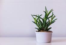 Planta Ornamental Para Decoracion, Planta Suculenta