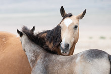 Baby And Mother Wild Horse