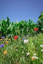 Wildblumen An Einem Maisfeld