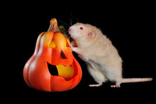 Red Eyed Rat Standing On Hind Legs Near Halloween Carved Pumpkin