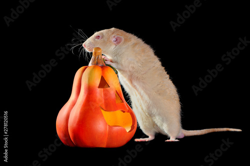 Fototapeta Red eyed rat standing on hind legs next to Halloween carved pumpkin