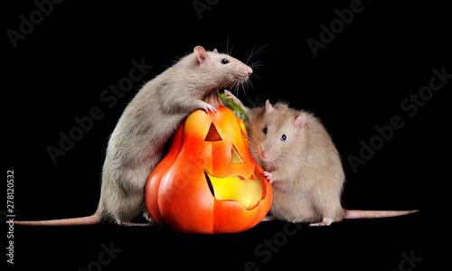 Fotografia, Obraz Two rats  on hind legs rat next to Halloween pumpkin against black background