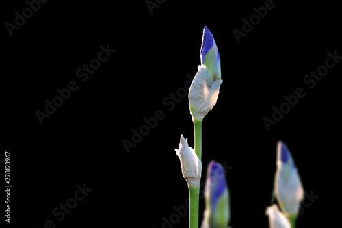 Iris flower buds close up shot on black background