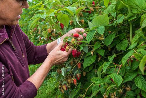 Obraz na płótnie Close up of woman on a farm picking fresh raspberries on a rainy day, Pacific No