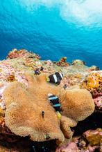 Pair Of Anemonefish And Sea Anemone
