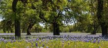 Bluebonnets Wildflowers Under ...