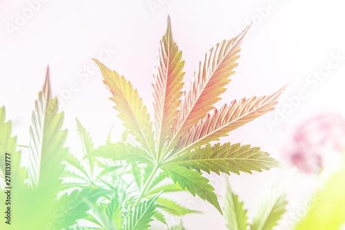 Fotomural hemp marijuana CBD, indoor grow cannabis indica, white background cultivation ca
