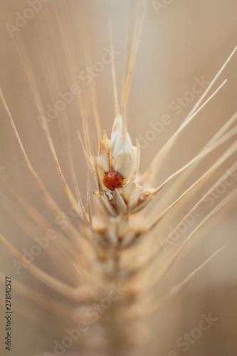 Fotobehang Macrofotografie Ladybug on a spikelet of wheat