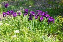 Beautiful Purple Irises