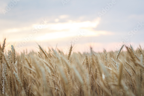 Poster Campagne Field of yellow wheat at sunset