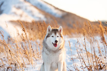 Beautiful, Happy And Free Siberian Husky Dog Sitting On The Hill At Sunset On Mountains Background