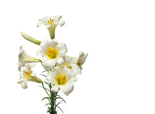 White Trumpet Lilies On A White Background With Space For Text