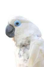 The Blue-eyed Cockatoo (Cacatua Ophthalmica), Portait With White Background. Isolated Portait Of The Cockatoo.