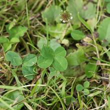 Vierblättriges Kleeblatt Klee Four-leaf Clover Grün Green Garten Garden Glück Fortune Good Luck Irland Ireland 4 Shamrock