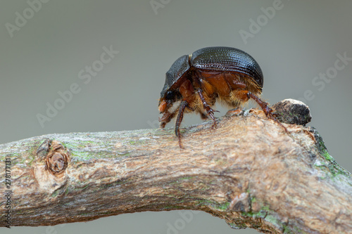 Foto earth-boring dung beetle - Geotrupidae - Odonteus armiger