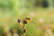 Yellow Dragonflies Are On The Pollen Of Red Flowers In Nature.