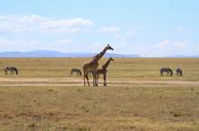 Masai Maasai Giraffe Giraffa Camelopardalis Tippelskirchii Mother And Small Young Calf Plains Masai Mara National Reserve Kenya East Africa Kilimanjaro Giraffe Zebras Copy Space Blue Sky Distance