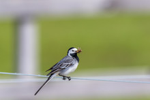 Wagtail On A Wire With A Beak Full Of Insects