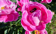 Leinwanddruck Bild - Close up view of pink red sunny peony flowers and bumble bees in botanical garden in summer Moscow