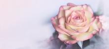 Sweet Color Rose In Soft Color For Floral Background