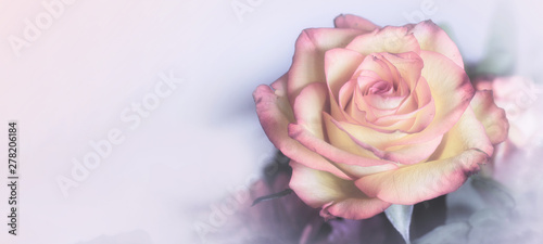 Foto op Canvas Roses Sweet color rose in soft color for floral background