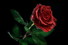 Red Rose With Water Drops Isolated On Black Background
