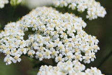 Close-up View Of White Milfoil...