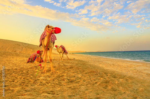 Three camels on the beach at Khor al Udaid in Persian Gulf, southern Qatar with sand dunes and sea on background Fototapeta